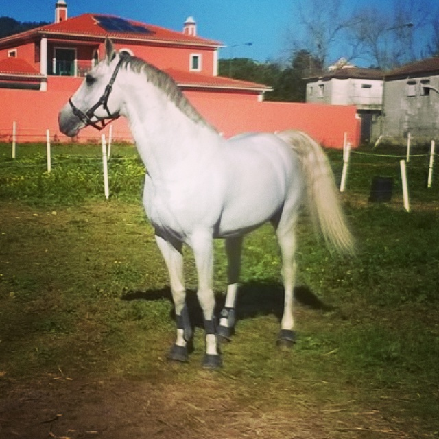 Lusitano for Sale ULISSES- GP movements